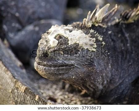 Marine iguana sunning on the rocks in the Galapagos Islands - stock photo
