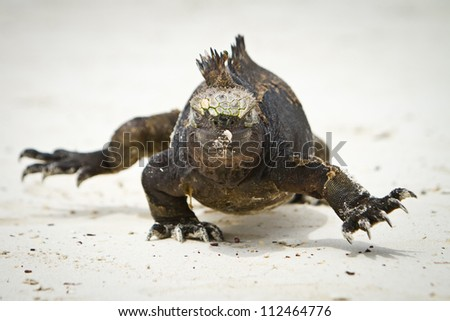 Marine Iguana walking straight at you