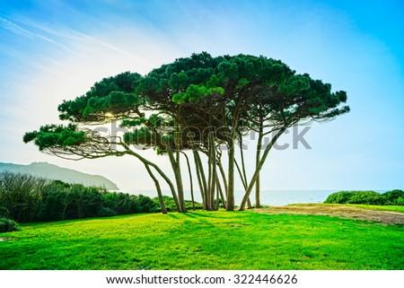 Maritime Pine tree group near sea and beach on sunset. Baratti, Maremma, Piombino, Tuscany, Italy. - stock photo