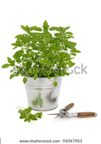 Marjoram herb growing in a metal plant pot with pruning cutters and leaf sprigs isolated over white background. - stock photo
