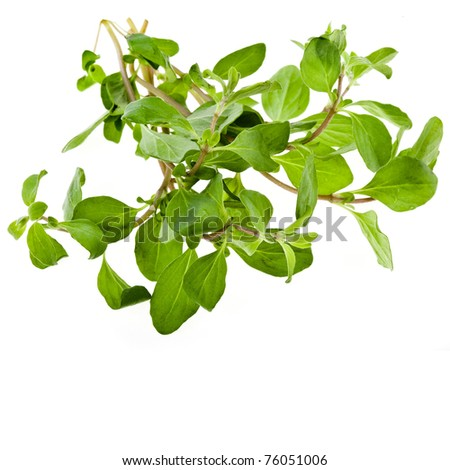 Marjoram Herb (origanum majorana ) isolated - stock photo