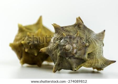 Market bag of Bolinus brandaris, an edible marine gastropod mollusk, known as the purple dye murex or spiny dye-murex, is a medium-sized predatory sea snail, in the family Muricidae. - stock photo