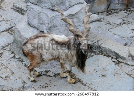 Markhor stands in the captivity at the Zoo - stock photo