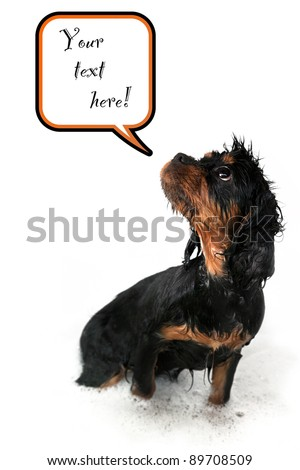 Marmaduke the black and tan Cavalier on white background with speech bubble and space for your text. - stock photo