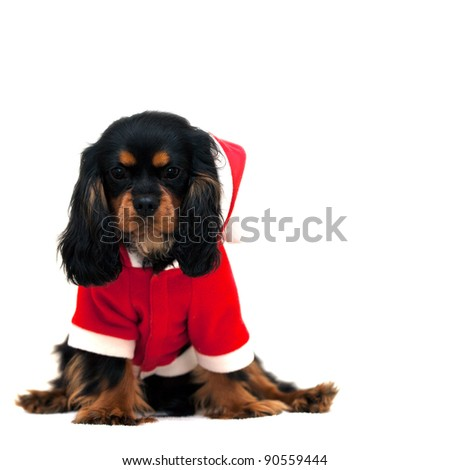 Marmaduke the black and tan Cavalier wears a Santa Suit isolated on white background. Space for your text
