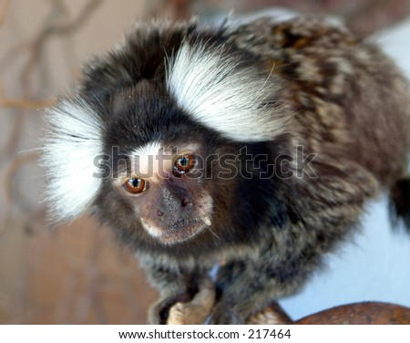 Marmoset - stock photo