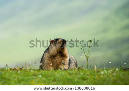 marmot in the grassland - stock photo