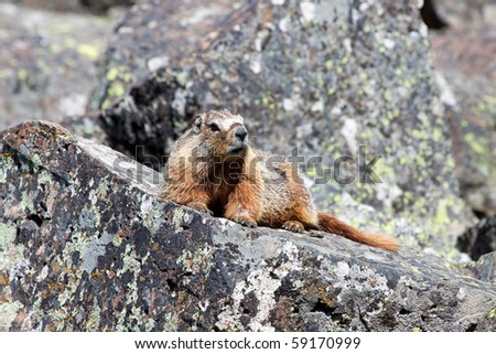 Marmot on Rocks - stock photo