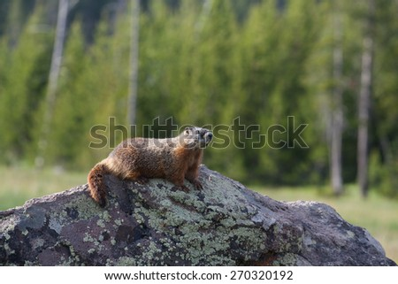 Marmot sitting on a stone in Yellowstone National Park, Wyoming, US - stock photo