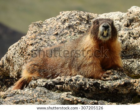 marmot  spotted while hiking on mount evans, colorado          - stock photo