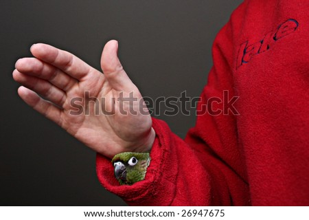 maroon bellied conure in sleeve - stock photo