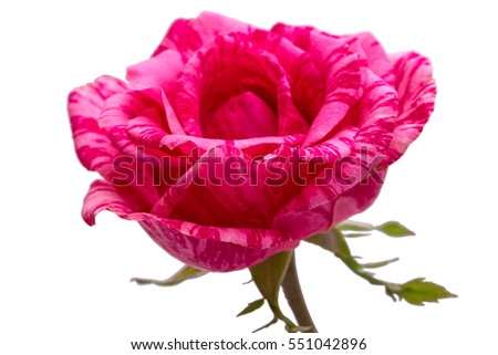 Maroon rose isolated on a white background