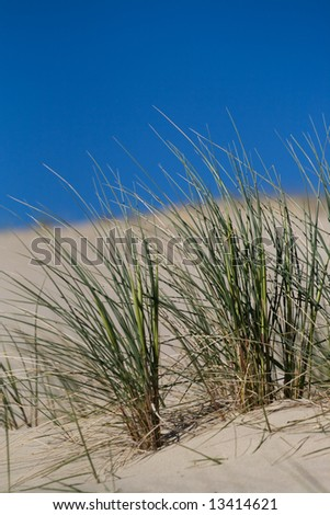 Marram Grass, Bent or Beach Grass in sand dunes near Baltic sea - stock photo