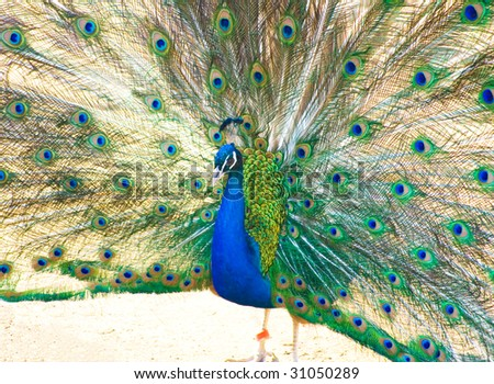 Marriage dance of peacock - stock photo