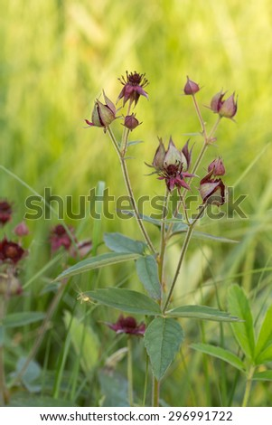 Marsh Cinquefoil, Potentilla palustris blooming in moist environment - stock photo
