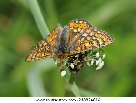 Marsh Fritillary Butterfly - Eurodryas aurinia on Plantain flower