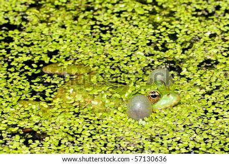 Marsh frog - stock photo