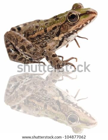 Marsh Frog and reflection isolated on white background, Pelophylax ridibundus - stock photo