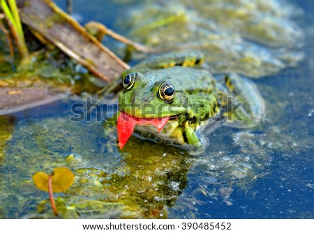 Marsh frog eats a tomato peel in the swamp - stock photo
