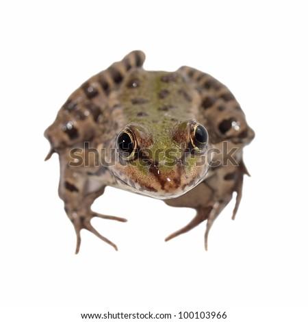 Marsh Frog isolated on white background, Pelophylax ridibundus - stock photo