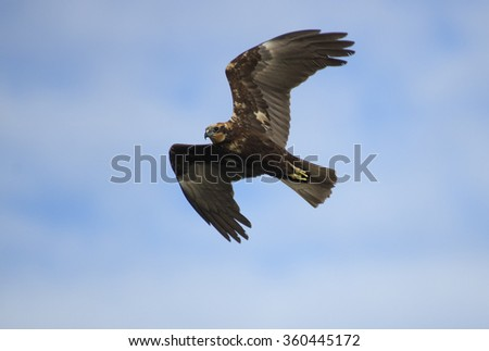 Marsh Harrier (Circus aeruginosus) - stock photo