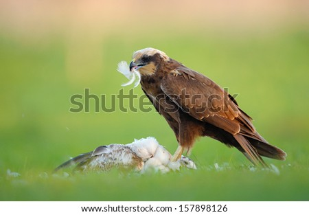 Marsh Harrier with prey