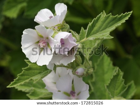 Marsh Mallow - Althaea officinalis Found on the coast of North Somerset - stock photo