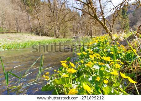 Marsh marigold in spring on  river Lauter, Germany, Baden Wuerttemberg - stock photo