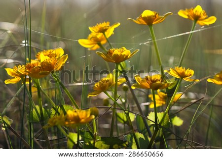 Marsh-marigold, kingcup, Caltha palustris - stock photo