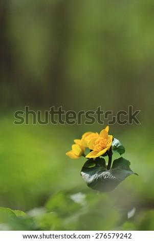 Marsh Marigold or Kingcup - Caltha palustris  - stock photo