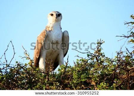 Martial Eagle juvenile posing  - stock photo