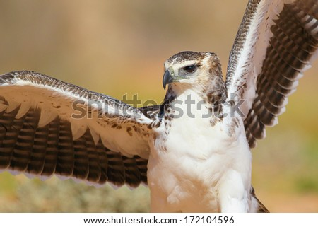 Martial eagle juvenile with open wings portrait, Kalahari, South Africa - stock photo