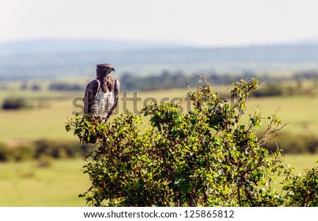 Martial Eagle sitting on a branch in Masai Mara Kenya - stock photo