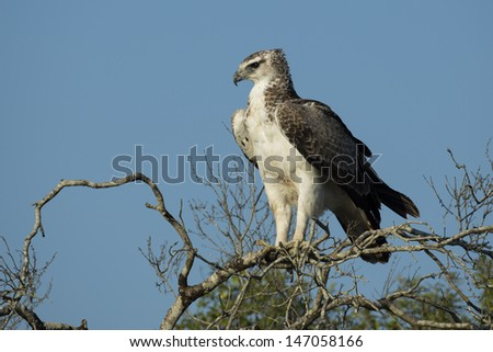 Martial eagle, South Africa - stock photo