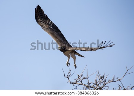 Martial eagle with large wings take off from a tree against blue sky