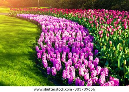 Marvellous flowers in the Keukenhof gardens. Beautiful outdoor scenery in Netherlands, Europe. - stock photo