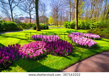 Marvellous hyacinth flowers in the Keukenhof gardens. Beautiful outdoor scenery in Netherlands, Europe.