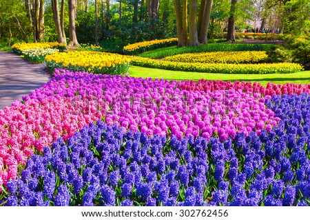 Marvellous hyacinth flowers in the Keukenhof park, used as background. Beautiful outdoor scenery in Netherlands, Europe.  - stock photo