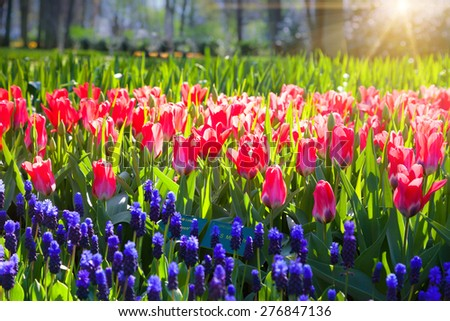 Marvellous red tulips in the Keukenhof park glowing morning light. Beautiful outdoor scenery in Netherlands, Europe. - stock photo