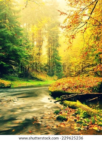 Marvelous evening at river in vivid autumn colors. Humidity in the air after rainy day. Stony bank of autumn mountain river covered by orange beech leaves.  - stock photo
