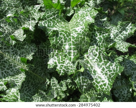 Mary thistle in herb garden - stock photo