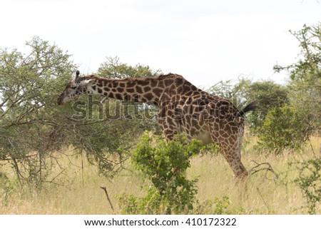 masai giraffe (Giraffa camelopardalis tippelskirchi) - stock photo
