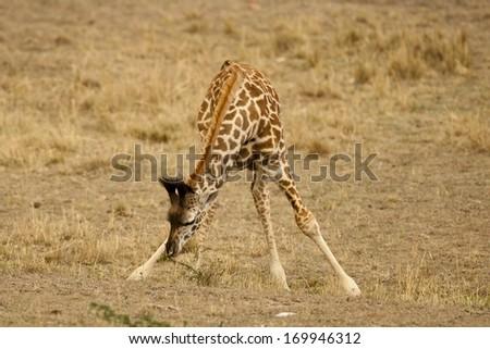 Masai Giraffe, Giraffa camelopardalis tippelskirchi, in the Masai Mara GR, Kenya, Upper Mara - stock photo