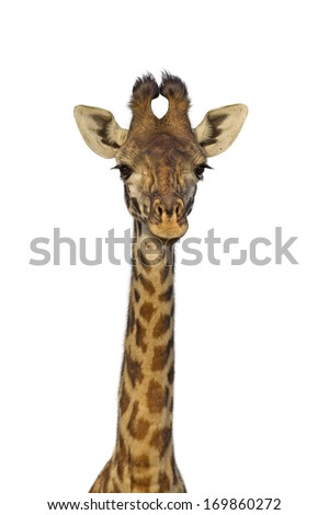 Masai giraffe isolated on white background - stock photo