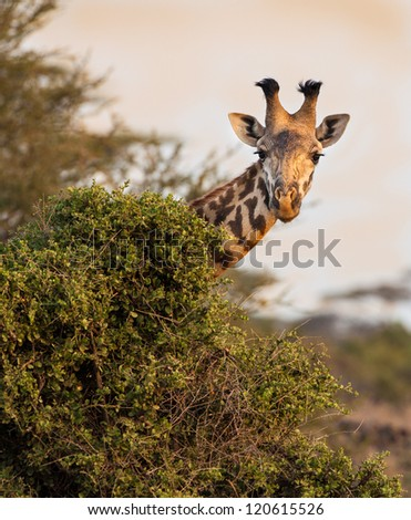 Masai giraffe peaks around bush - stock photo