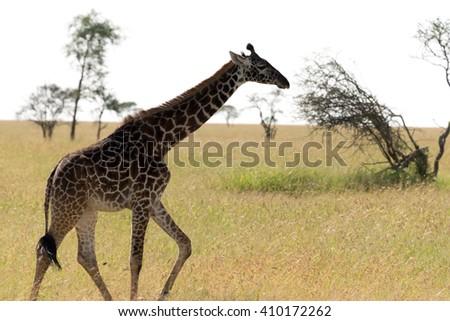 masai giraffe running - stock photo