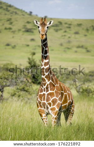 Masai Giraffe stairs into camera at the Lewa Wildlife Conservancy, North Kenya, Africa - stock photo