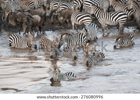 Masai Mara Zebra River Crossing, Kenya - stock photo