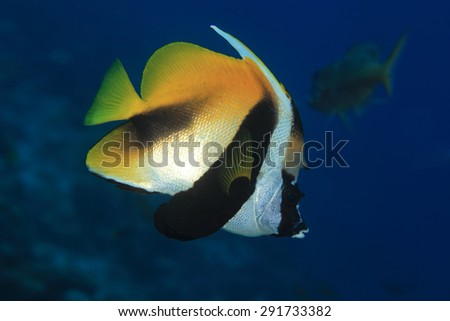 Masked bannerfish (Heniochus monoceros) in the tropical waters of the indian ocean
