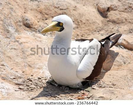 Masked Booby sitting on rock, Socotra archipelago - stock photo